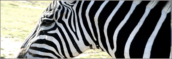 safari article