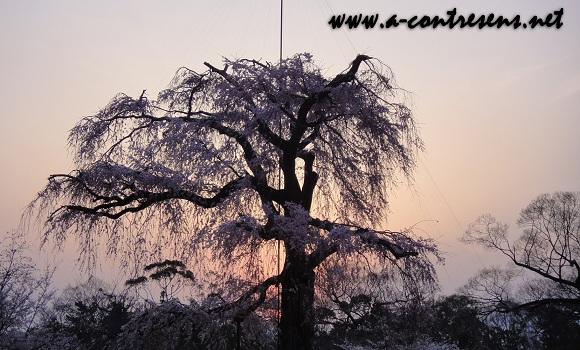 cerisier parc maruyama (tokyo)