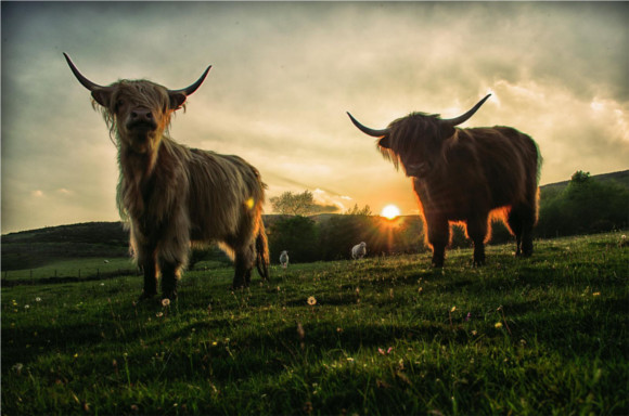 1-cows-on-hill-at-sunrise