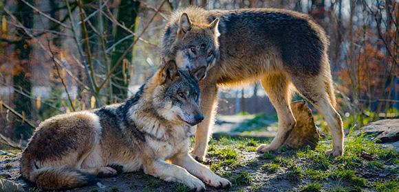 parc loups en france