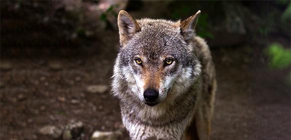 parcs où voir des loups en france