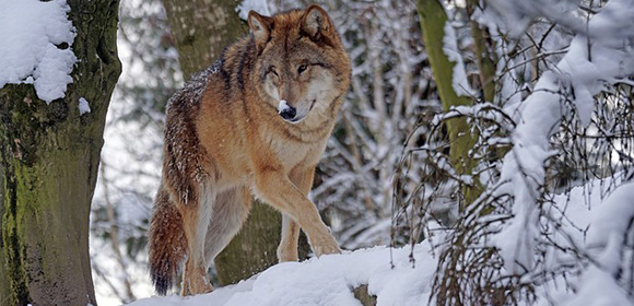 parcs loups france