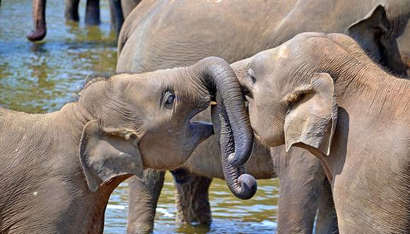 sri lanka orphelinat des éléphants